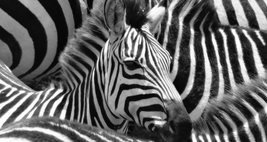 Black and white zebra photograph